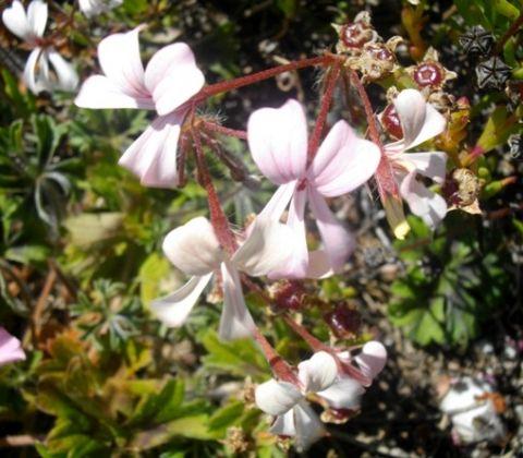 Pelargonium alchemilloides  semillas
