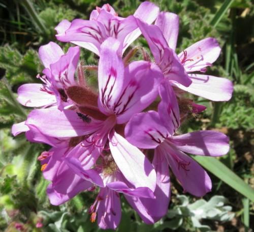 Pelargonium betulinum Kampfer duftende Pelargonium Samen