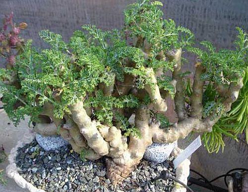 Pelargonium carnosum Caudiciformi semi