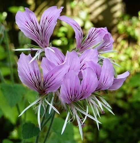 Pelargonium cordifolium herzblättrige Pelargonie Samen