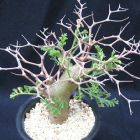Pelargonium crithmifolium Pelargonium Samen