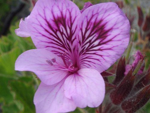 Pelargonium cucullatum geranio semi