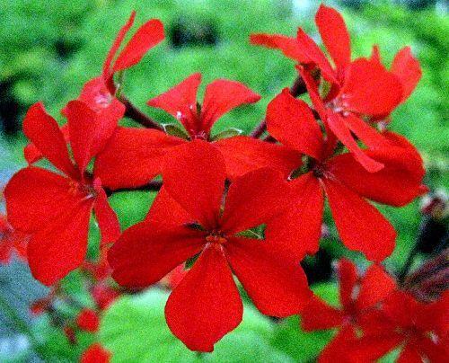 Pelargonium inquinans Pelargonium Samen