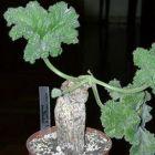 Pelargonium lobatum Caudexpflanze Samen