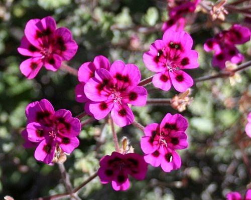 Pelargonium magenteum  semillas