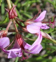 Pelargonium multicaule ssp multicaule Geranien Samen