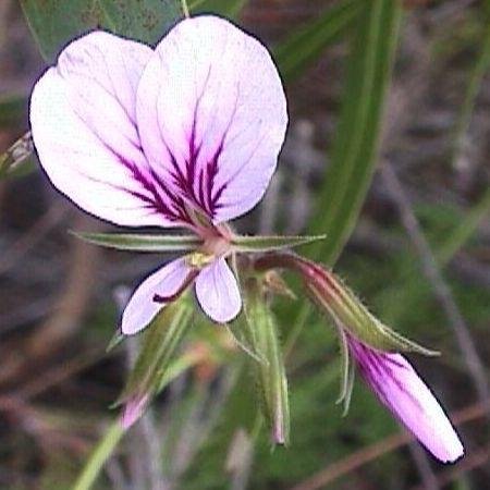 Pelargonium myrrhifolium var fruticosum syn: Pelargonium longicaule Samen