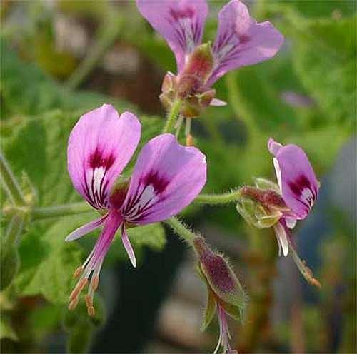 Pelargonium papilionaceum Duftpelargonie Samen