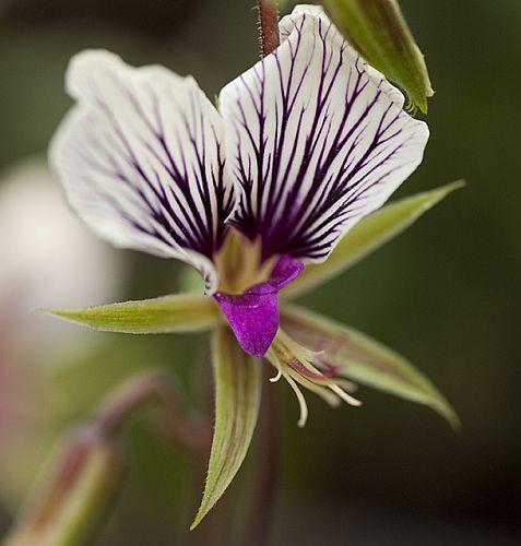 Pelargonium praemorsum ssp praemorsum cinco dedos geranio semillas