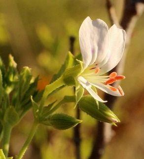Pelargonium ribifolium Johannisbeerblättrige Pelargonie Samen