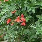 Pelargonium tongaense Tonga Pelargonium Samen