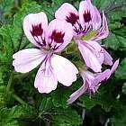 Pelargonium vitifolium  cемян