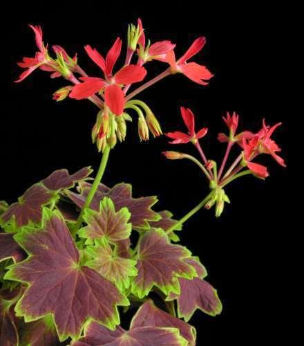 Pelargonium zonale  Семена