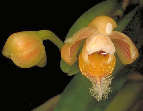 Pelatantheria ctenoglossum  Семена