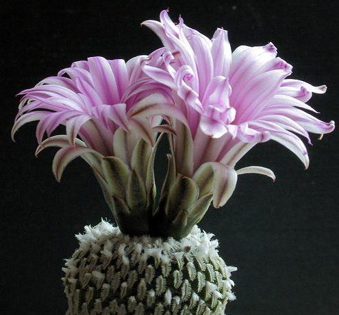 Pelecyphora pseudopectinata v. rubriflora Kaktus Samen