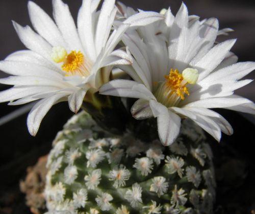 Pelecyphora valdeziana v. albiflora syn: Turbinicarpus valdezianus v. albiflorus  Samen