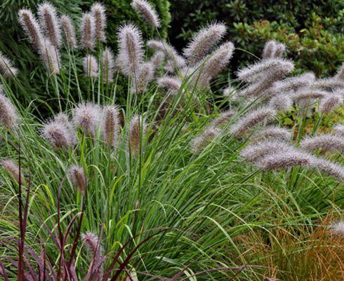 Pennisetum alopecuroides Herbe aux écouvillons graines