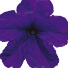 Petunia Eagle Blue F1 Petunie Eagle Blue F1 Samen