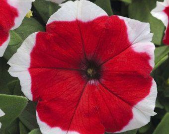 Petunia Merlin Red Picotee F1  semillas