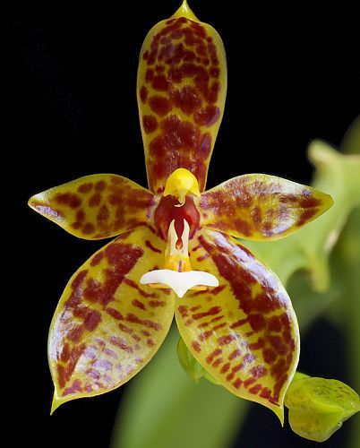 Phalaenopsis cornucervi  Семена