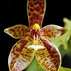 Phalaenopsis cornucervi Orchideen Samen