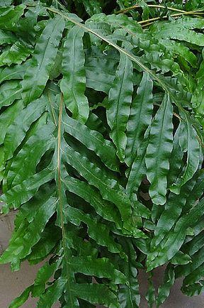 Phlebodium decumanum Calaguala Farn Samen