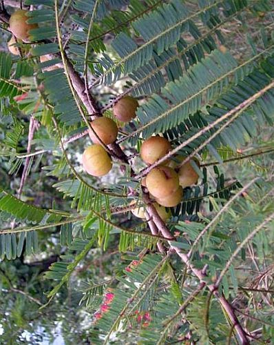 Phyllanthus emblica Nelli - Verjüngungsfrucht Samen