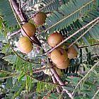 Phyllanthus emblica Филлантус лекарственный  cемян