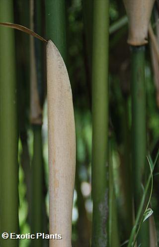Phyllostachys aurea  semillas