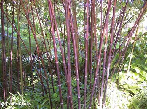 Phyllostachys nigra Schwarzrohrbambus - schwarzer Bambus Samen