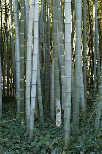 Phyllostachys pubescens Bambou géant Moso - Moso bamboo graines