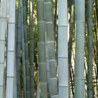 Phyllostachys pubescens graines bambou Moso