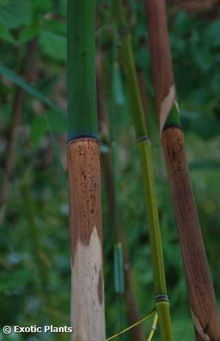 Phyllostachys vivax Goldrohrbambus - Knotenbambus Samen