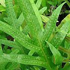 Phymatodes scolopendria Tausendf?ssler-Farn Samen