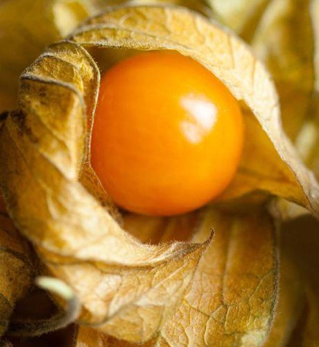 Physalis pruinosa Ananaskirsche Samen