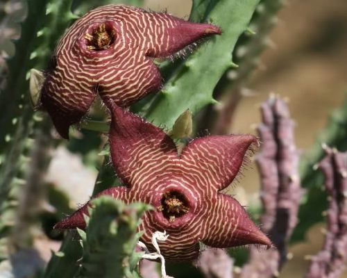Piaranthus punctatus Ascleps - Stapelias Samen
