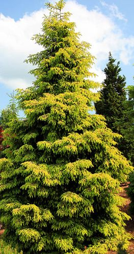 Picea orientalis  semillas