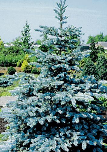 Picea pungens Sapin bleu graines