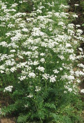 Pimpinella anisum  semillas