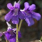 Pinguicula grandiflora Gro?bl?tiges Fettkraut Samen