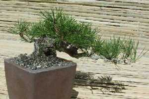 Pinus patula pino mexicano llorón semillas