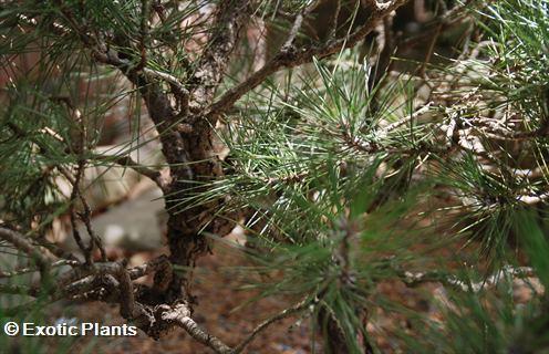 Pinus thunbergii Pinus Samen
