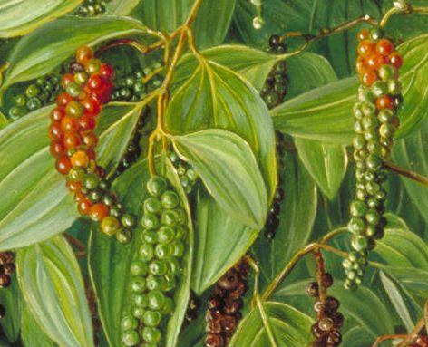 Piper nigrum  semillas
