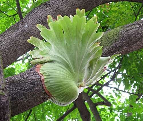 staghorn fern mounting instructions