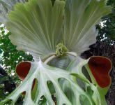 Platycerium superbum Riesen-Geweihfarn Samen