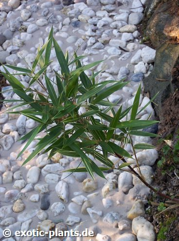 Pleioblastus fortunei Silberstreifenbambus - Zwergbambus Samen