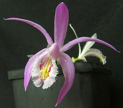 Pleione praecox orchidées graines