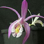 Pleione praecox Orchideen Samen