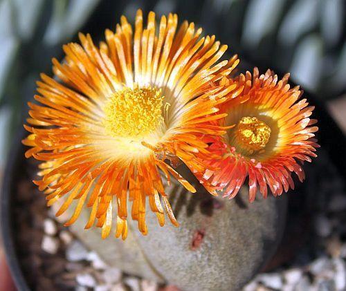 Pleiospilos nelii planta suculenta semillas