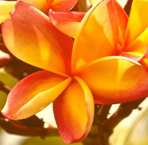 Plumeria Apricot Beauty Frangipani - Wachsblume Apricot Beauty Samen